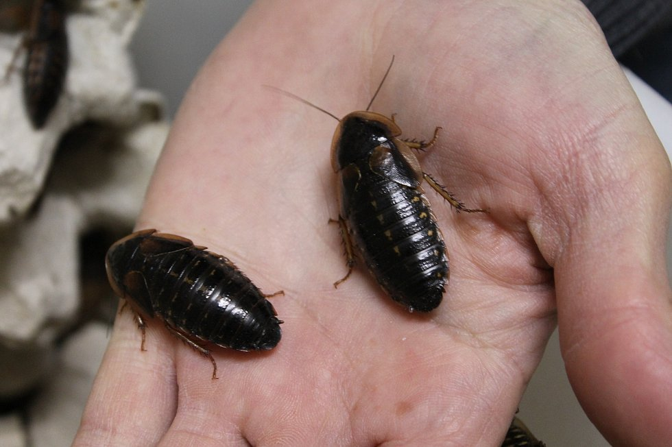 V Jaroměřicích nad Rokytnou podnikatel Ivan Papoušek ve velkém chová čtyři druhy hmyzu.