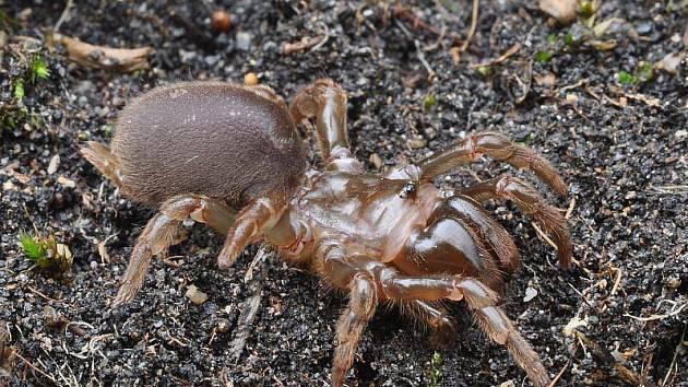 Sklípkánek hnědý - tělo má dlouhé 2 cm. Příbuzný exotických sklípkanů žije v norách v osluněných skalkách na břehu řeky Jihlavy.