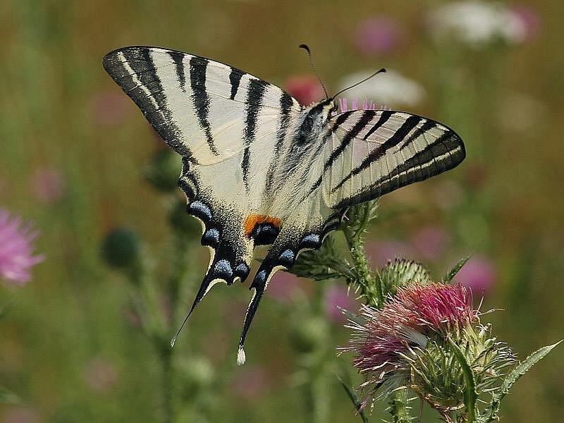 Otakárek ovocný - patří mezi největší české denní motýly, je velký jak dlaň. Je to ohrožený druh, jeho domovskou rostlinou je trnka. Foto Václav Křivan