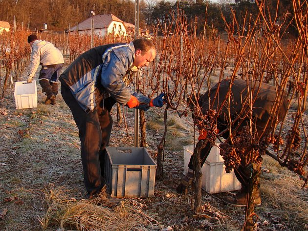 Jako symboliku blízké vinice, jediné na Vysočině, budou mít Kojetice v obecním znaku hrozny.