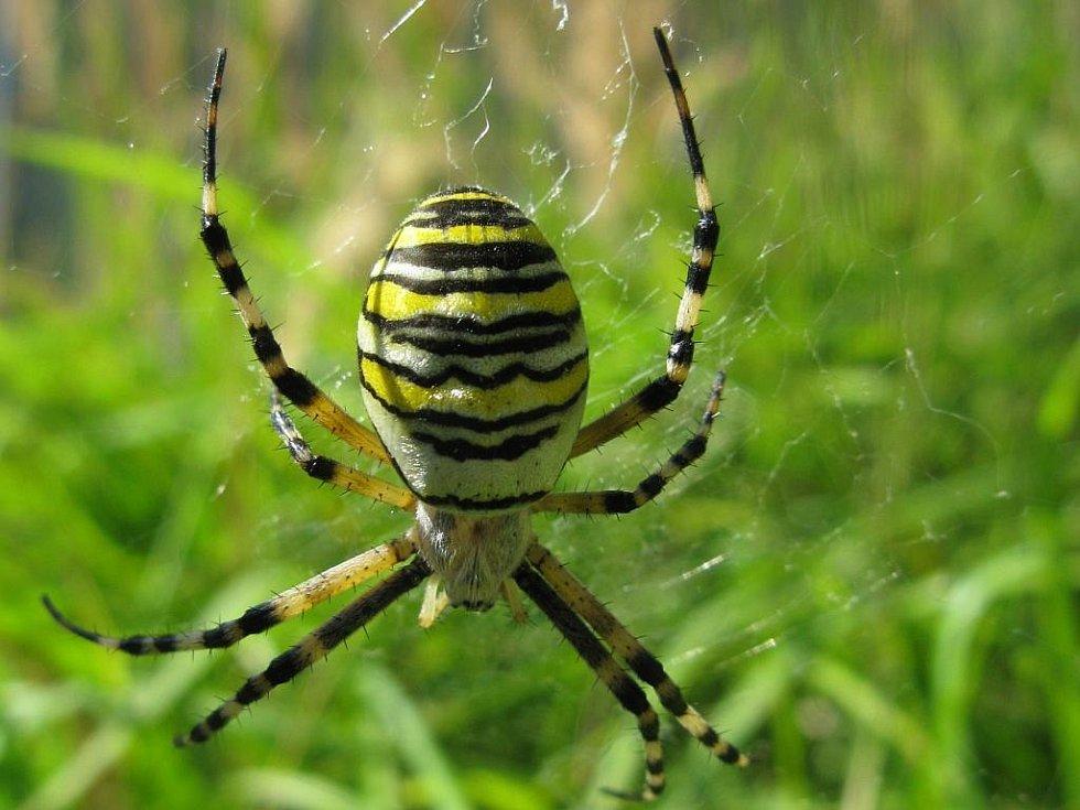 KŘIŽÁK PRUHOVANÝ.  Nápadný subtropický pavouk, tento exemplář žije v Klučově. S nohami má délku 2,5 centimetru. Jed tohoto druhu nevybočuje z normy, člověku není nebezpečný.
