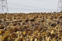Žlutých květů slunečnic je na Třebíčsku poskrovnu.  Kdysi tu byla takřka stejně rozšířená, jako je dnes řepka olejná. Slunečnice byla do naší země přivezena v 16. století z Peru.