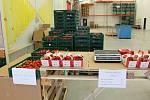 U Kožichovic sklízejí první desítky tun rajčat. Tisíc kilogramů týdně prodají ve vlastní prodejně v areálu skleníků.