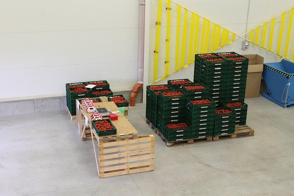 U Kožichovic sklízejí desítky tun rajčat.  Tisíc kilogramů týdně prodají ve vlastní prodejně v areálu skleníků.