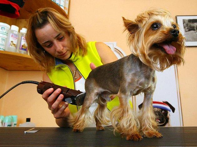 Ilustrační foto. Málokdo už si stříhá pejska doma a raději ho svěří do rukou odborníkům. Častým nešvarem mnoha salonů je uspávání anestetiky. Ta jsou ale pro psí organismus nebezpečná.