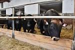 Na farmě v Odunci chovají býky plemene Aberdeen Angus