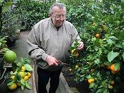 V zahradním skleníku v Šebkovicích na Třebíčsku nyní dozrávají plody citrusů. Pěstitel Františka Holčapka tam každoročně sklidí kolem dvou set kilogramů různých odrůd mandarinek, grepů, pomerančů a limetek.