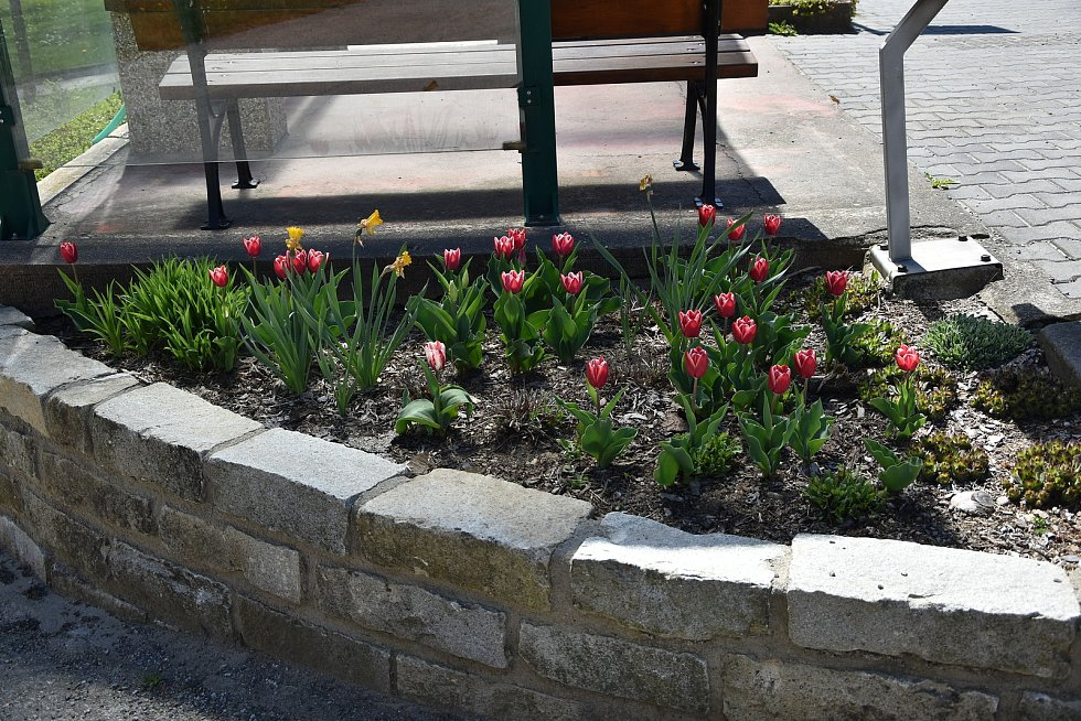 Obecní pracovníci každoročně zkrášlují Přibyslavice výsadbou nových květinových záhonů.