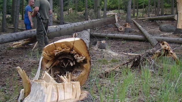 U Horních Vilémovic se začalo těžit v úterý. Některé naříznuté stromy už spadly pod náporem větru, jiné musí pokácet těžaři. Ty čeká několikatýdenní nebezpečná práce.