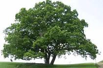 Na Českomoravské vrchovině rostou podle dendrologů nejstarší stromy v Česku.