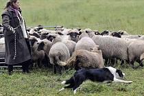Šedesát ovcí ze Zašovic je na pastvě od jara do zámrzu.