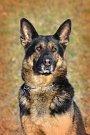 Rex. U Náměště slouží kromě vojáků i psi.