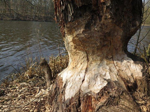 Nejviditelnější stopou po bobrech jsou okusy stromů. Takto například bobři řádí na hrázích rybníku Lubí.