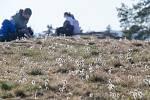 Louka s přísně chráněným koniklecem velkokvětým u Trnavy na Třebíčsku. Tuto významnou lokalitu navštívilo kvůli pandemii a nařízením vlády o omezení pohybu výrazně méně lidí než v předchozích letech.