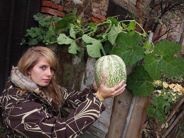 Michaela Kolková, studentka Vysoké školy zemědělské v Praze, obdivuje meloun vodní, který vyrostl na zahradě v ulici Příkopy v Přibyslavi.