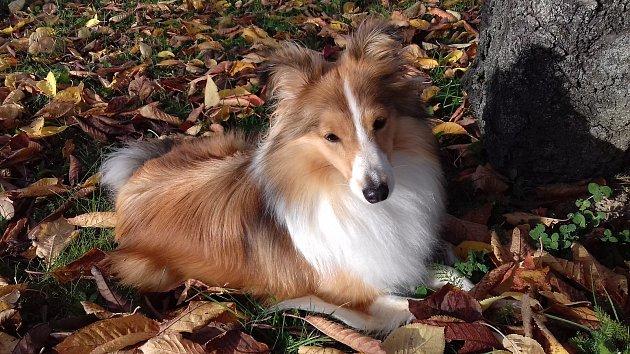 """6. Jitka Padrnosová bydlí vPetrovicích. Členem její rodiny je taky fena plemene sheltie, která se jmenuje Luna. """"Baví mě sní trávit čas. Je to chytrý pes se smyslem pro humor a vlastní osobností. Začaly jsme spolu cvičit agility a opravdu moc nás to bav"""
