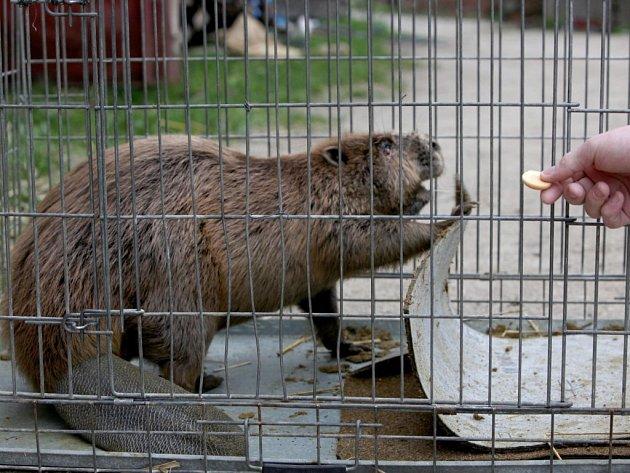 Zesláblého a zraněného bobra objevili v neděli pozdě večer lidé v Třebíči.