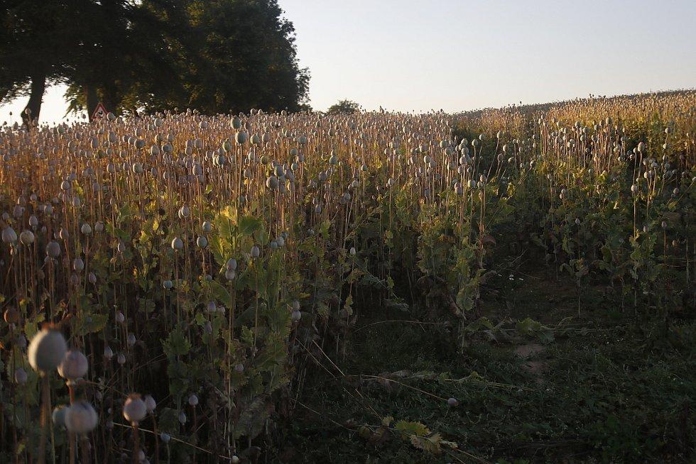 Makové pole u Ctiboře na Pelhřimovsku.