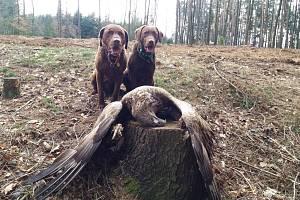 Psi Sam a Victory jsou speciálně vycvičení nález ptáka pouze oznámit a nedotýkat se ho, aby jim nehrozila otrava.