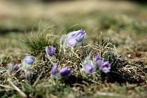 Květy koniklece jsou oblíbenou atrakcí na začátku jara. V Kobylinci u Trnavy na Třebíčsku vykvetly desítky květů a lákají turisty kolem stezky vedoucí na Nárameč. Květy koniklece jsou chráněné.
