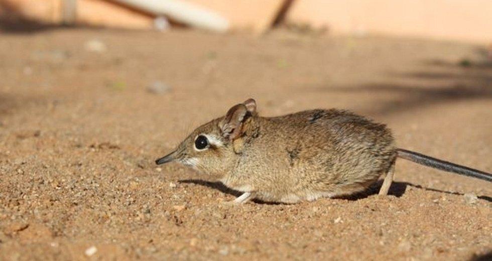Bércoun rezavý (Galegeeska rufescens) ze severní Tanzánie připomíná svým vzhledem myšovitého hlodavce, ale příbuznější je slonům, hrabáčům či mořským sirénám.