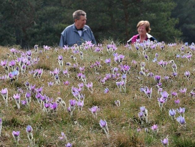 Jedovatá rostlina fialové barvy, jež patří podle Bernské úmluvy na seznam přísně chráněných druhů, roste v lokalitě přírodní památky Kobylinec.