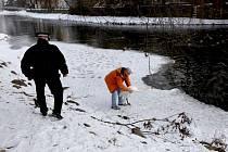 Městská policie spolu s předsedou Ligy na ochranu zvířat Petrem Ondráčkem zajistila návrat labutě zpět na řeku Jihlavu.