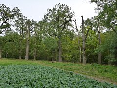 Památné duby u Hrotovic ošetřili arboristé.