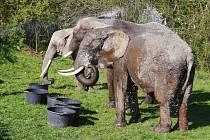 Humberto je jediný český cirkus, který má v programu tři slonice.
