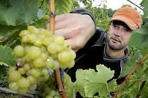 Vinobraní by mělo začít až ve čtvrtek, kdy by jako první měla přijít na řadu bílá odrůda Solaris nové rezistentní víno, odolné vůči mrazům a houbovým chorobám.