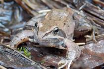 Skokana ostronosého je asi nejvzácnější živočich, který v mokřadu Pod Cihelnou žije.