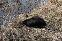 Zachránci vypustili mladého bobra zpět do volné přírody přibližně dvacet kilometrů od Dalešické přehrady. Pád do betonového přepadu jej prý nijak nepoznamenal.