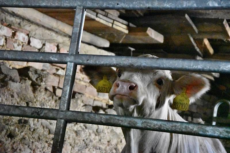 V Račicích na Třebíčsku funguje mlékomat. Lidé si zde mohou koupit čerstvé mléko od pěti krav z místní farmy, které se jmenují Alžběta, Julie, Rozárka, Kopretina a Zita.
