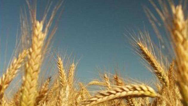 Letošní úroda obilí v České republice podle očekávání Agrární komory bude zřejmě průměrná.