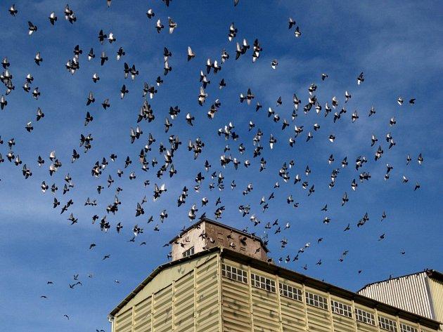 Hejna stovek holubů okupují svá oblíbená budějovická místa, třeba silo. Mezi ptáky jsou i zbloudilí poštovní holubi převážně českých majitelů, sem tam přiletí pták ze Slovenska.