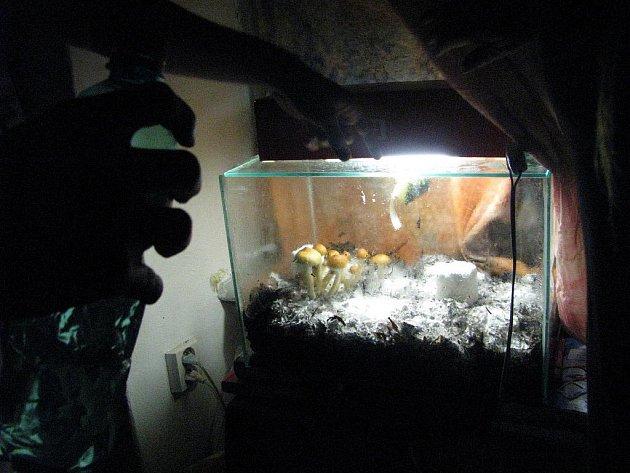 Někteří příznivci lysohlávek nečekají až na podzim, kdy začnou růst magické houbičky v našich lesích. V teráriu si pěstují subtropickou lysohlávku kubánskou. Nevýhodou lysohlávky kubánské je to, že obsah psychoaktivních látek je poměrně nestabilní.