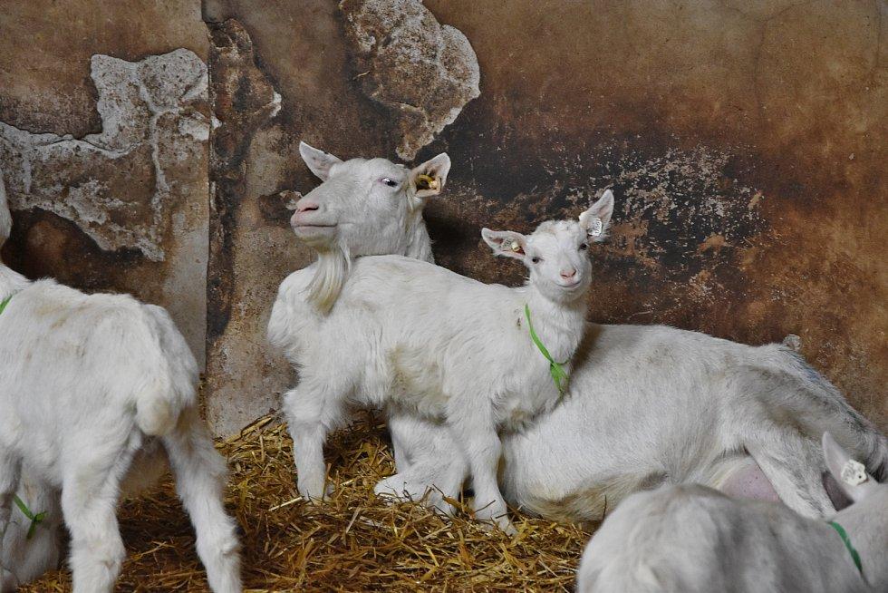 Na farmě v Ratibořicích chovají české plemeno - bílou krátkosrstou kozu