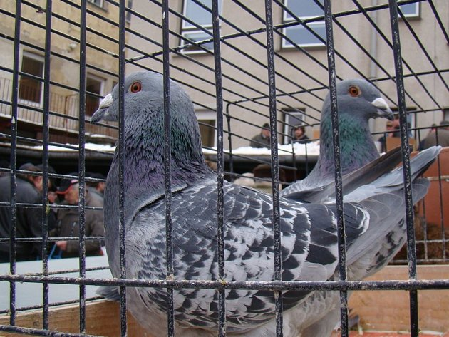Přes 210 holubů a 50 králíků různých barev a velikostí se o víkendu představilo na místní výstavě v areálu třebíčské organizace Českého svazu chovatelů.