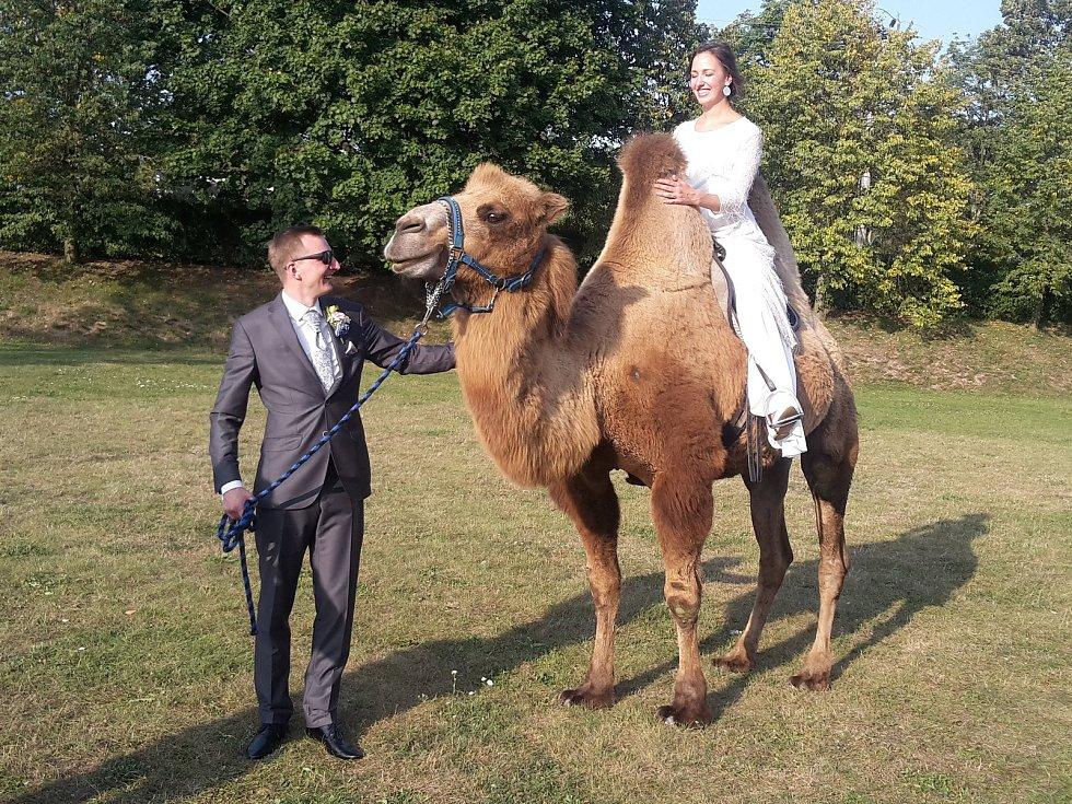 Velbloud na svatbě v Nové Vsi.