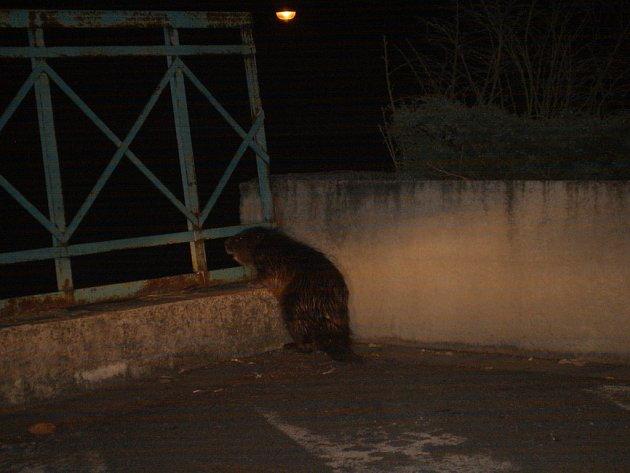 Hlídka bobra našla na parkovišti obchodního domu v centru města.