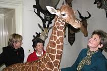 Mládě Rothschildovy žirafy se stalo  dalším z ojedinělých exponátů v depozitáři zámku v Budišově. Kamarády tu  má exotické i ryze české.