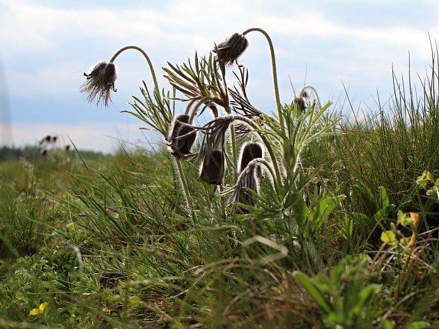 Koniklec luční na Klučovském kopci.