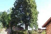 V anketě Strom roku 2006 zvítězila lípa rostoucí u hradu Sádek na Třebíčsku.
