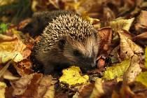 Na zachraňování ježků je ještě čas, pomůžete úkrytem i přikrmováním