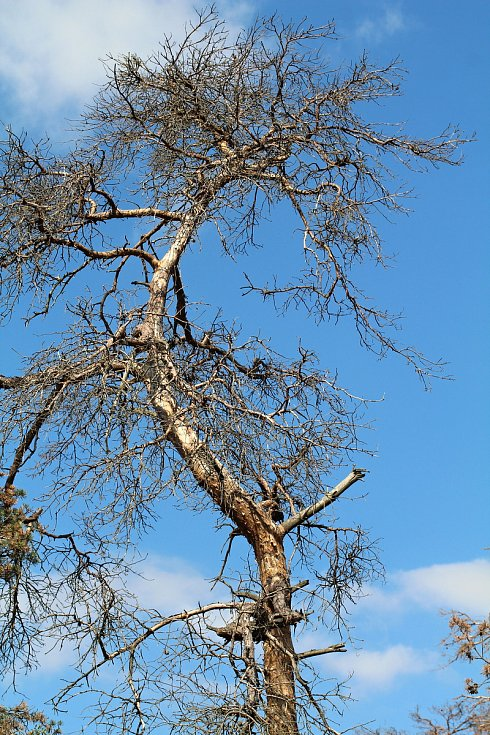 Suché borovice na jihu Třebíčsku nedaleko Rouchovan.