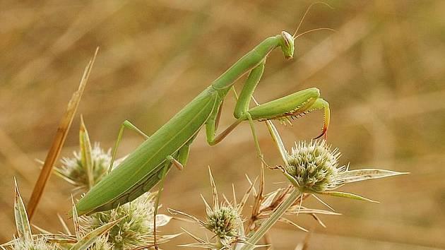 KUDLANKA NÁBOŽNÁ. Asi 10 centimetrů dlouhý predátor nepohrdne zejména sarančaty. Kudlanka je dobře maskovaná, má světle zelenou, na podzim hnědou, barvu. Preferuje osluněnou vysokou trávu, na Třebíčsku je k vidění v Třebíči u Ptáčova, u Mohelna.