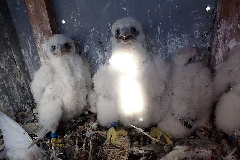 Sokoli se usadili na ventilačním komíně dukovanské elektrárny. Jde o jediný pár na Vysočině. Ornitolog Václav Beran provedl 12. května kroužkování.