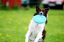 Border kolie je inteligentní, učenlivé, temperamentní a pracovité zvíře. Neustále vyžaduje dostatek pohybu a činnosti.