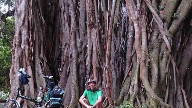 Indičtí obchodníci už pod fíkovníky bengálskými své zboží neprodávají, vítaný stín však tyto obrovské stromy unaveným poutníkům poskytují i nadále.