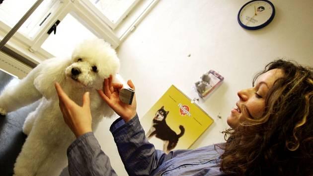 DOKONALÝ STŘIH. Zákaznice Romany Divišové se jmenuje Pepina, je jí zhruba sedm let a srst má výstavní.